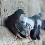 piccioni in condominio